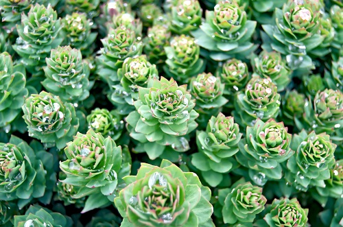 Rhodiola- helping you adapt to life
