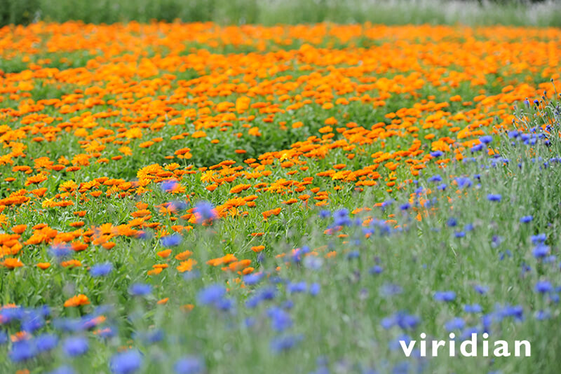 Viridian Nutrition - Marigold fields