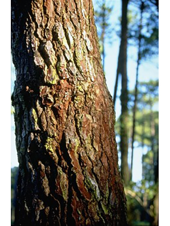 Pine bark relieves menopausal symptoms and boosts new heart health in new study