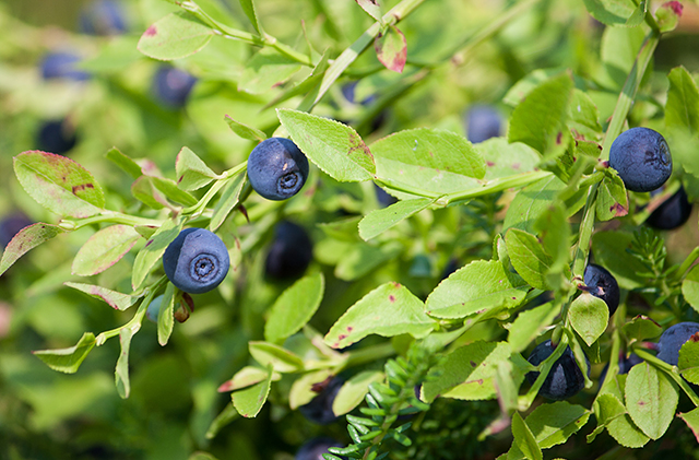 Anthocyanins in Berries Promote Cardiovascular Health
