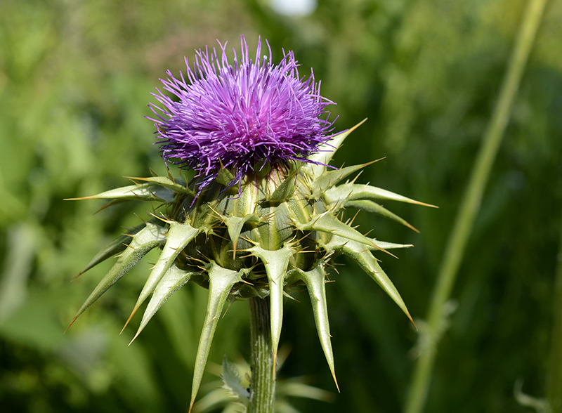 Milk Thistle & Type 2 Diabetes:  Simple Therapeutic Potential?