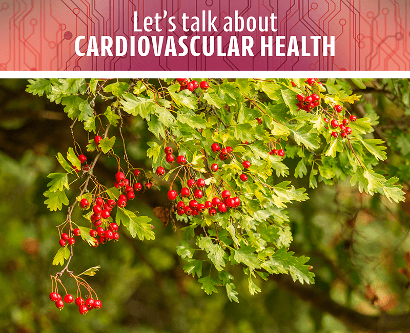A-Z of Cardio: Hawthorn Berry
