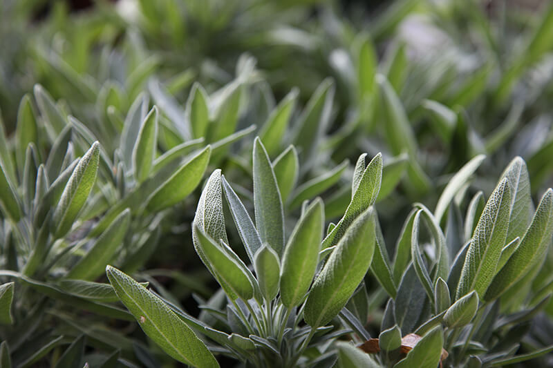 Sage – a naturally smart answer to improved cognition