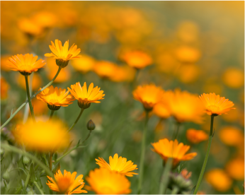 The Surprising Health Benefits of Marigold